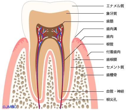 歯ブラシとフッ素