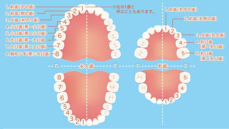 意外と知らない!歯の構造と基礎知識