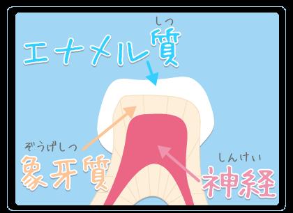 歯というのはとても硬いエナメル質、象牙質、歯髄で構成されています